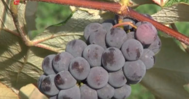 留学生创业:在加拿大成为葡萄农场主